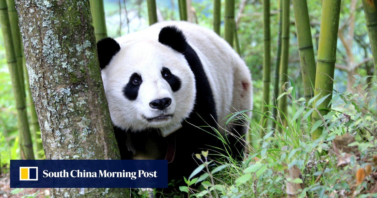 Giant pandas take the lion's share of conservation attention, but China has many endangered species such as tigers, dolphins, and alligators