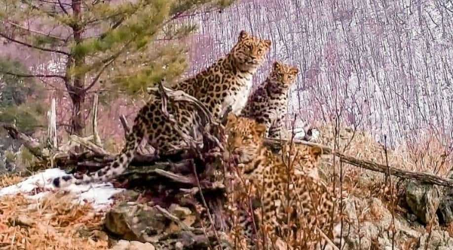 Russian conservationists hpy after rare sighting of the endangered Amur leopard with cubs