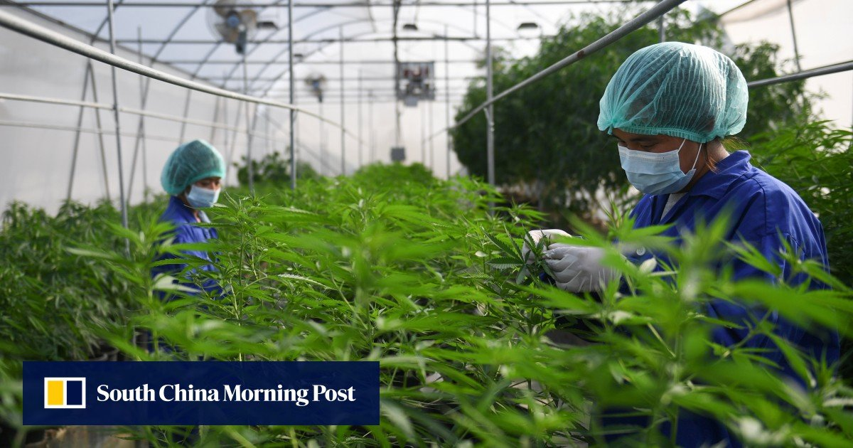 """Thailand's """"father"""" of cannabis wants smallholders to be part of the medical marijuana industry"""