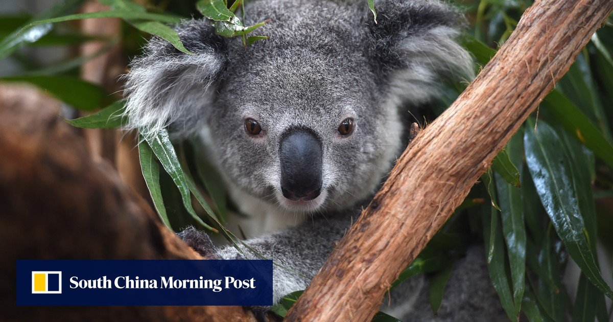 Australia's koalas are getting chlamydial vaccine as STDs spread in the wild